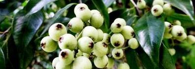 水蒲桃的营养价值 吃水蒲桃的好处