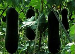 黑皮冬瓜的吃法 哪些人不能吃黑皮冬瓜