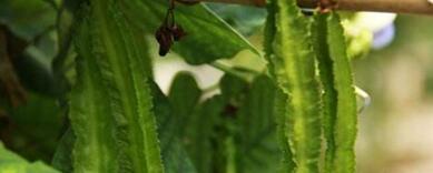四棱豆的营养价值 吃四棱豆的好处
