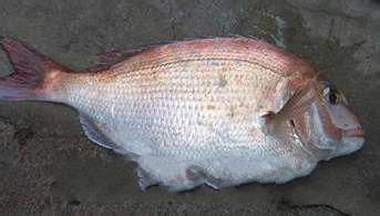 鲷鱼的做法 吃鲷鱼的好处