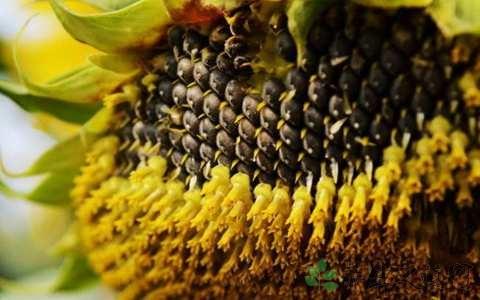 葵花子的营养价值_这些人尽量少吃葵花籽