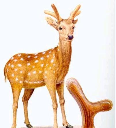 鹿茸是什么 鹿茸的功效
