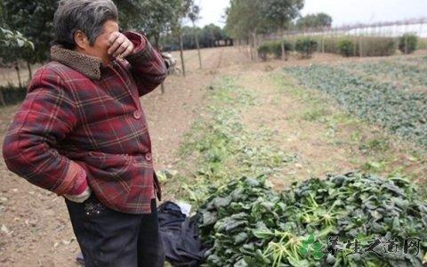 100公斤菠菜卖26元 让菜农落泪