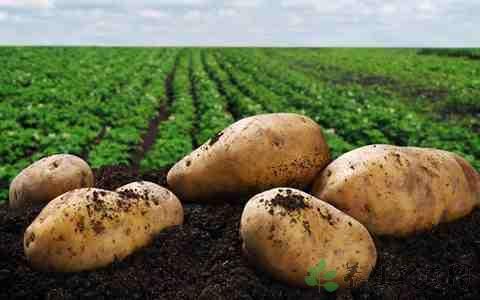 马铃薯的营养价值 能保护心血管