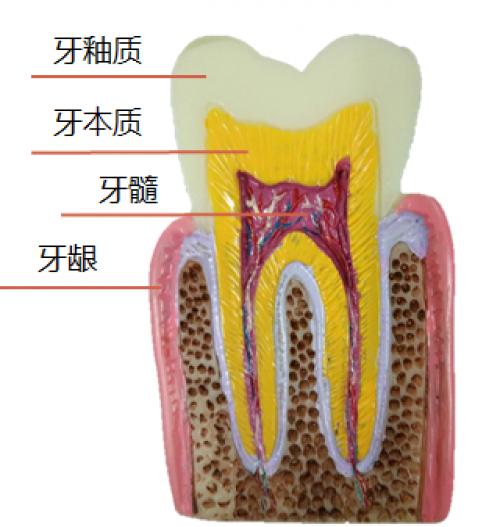 抗敏固齿贝利达(BIOREPAIR)牙膏, 修复磨损的牙釉质!
